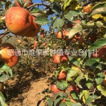 供应用于直接食用水果|做苹果酱|做苹果醋的云南昭通苹果红富士苹果糖心丑苹果批发