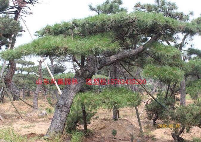 造型松树_山东造型松树批发价格_山东优质造型松树供应_山东造型松树种植基地_山东造型松树
