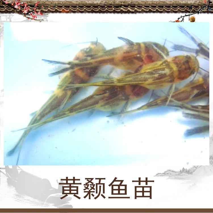黄颡鱼苗销售