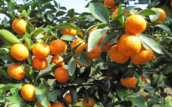 广西正宗砂糖橘苗批发 广西成活率高无核砂糖橘苗批发价
