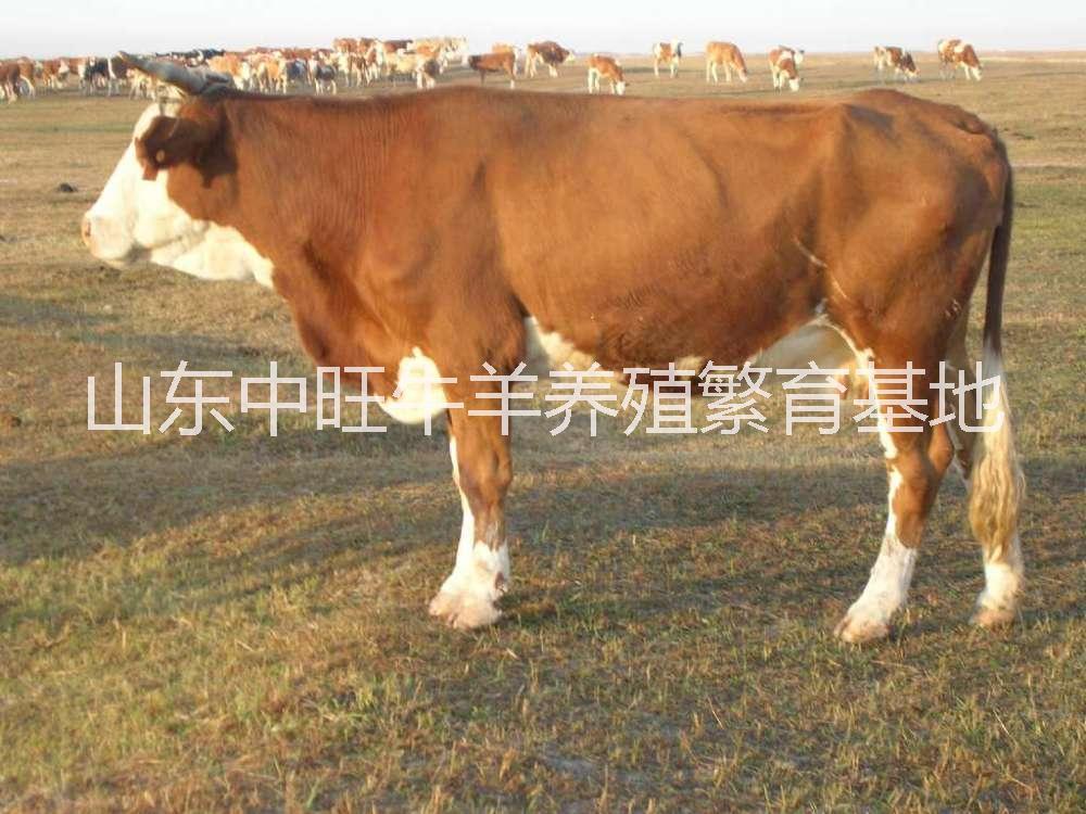 广东西门塔尔肉牛养殖基地,广东哪里有西门塔尔肉牛育苗养殖场