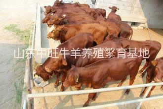 江西西门塔尔牛养殖场,江西优质西门塔尔牛批发,江西西门塔尔牛价钱
