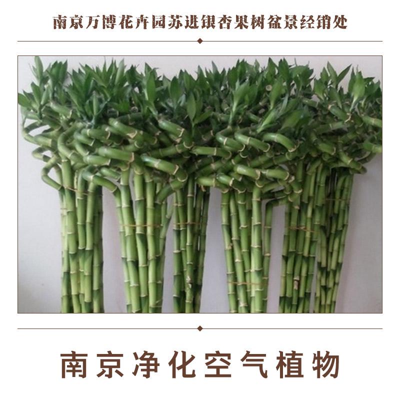 供应南京净化空气植物 虎尾兰芦荟垂叶榕 绿萝金心吊兰金琥 米兰千年木龟背竹