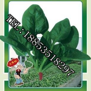 日本大叶 菠菜种子图片