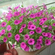 供应用于办公绿化的办公室盆栽植物租售,家庭花卉植物批发