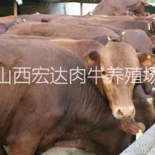 供应用于养殖|育肥的农村致富好项目—利木赞牛价格,免费运输,货到付款。图片