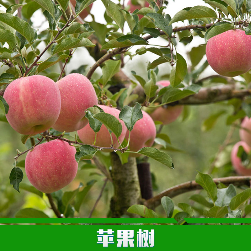 供应4至8公分桃树苗占地苹果树山楂树苗