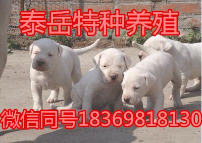 杜高犬销售