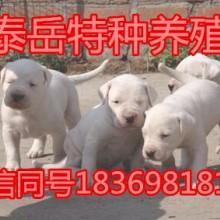 哪里有卖杜高犬的图片