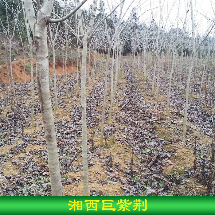 湘西巨紫荆销售 湖南乡土树种湘西巨紫荆苗木批发 永顺芳龙花木种苗