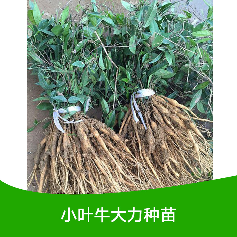 供应广西小叶牛大力种苗价格哪里便宜?小叶牛大力种子供应商电话图片