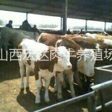 供应用于养殖的利木赞牛,品种好,价格低批发