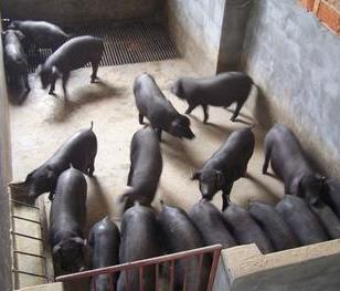 出售大约克仔猪价格图片