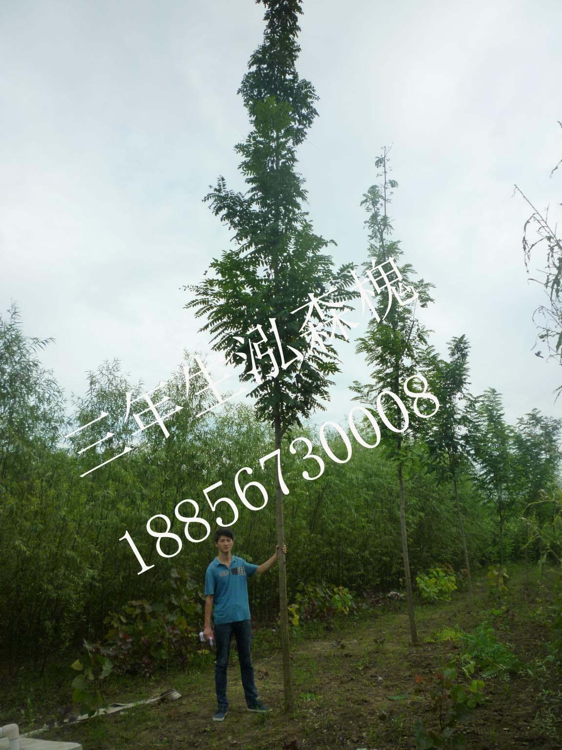 信息中心 林业扶贫树种泓森槐   防港林业扶贫项目:有茶树苗木提供吗?图片