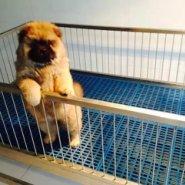 重庆哪里有卖松狮重庆松狮多少钱图片