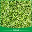大叶油草基地种植图片