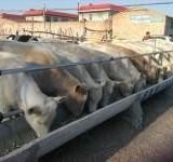 供应夏洛莱肉牛