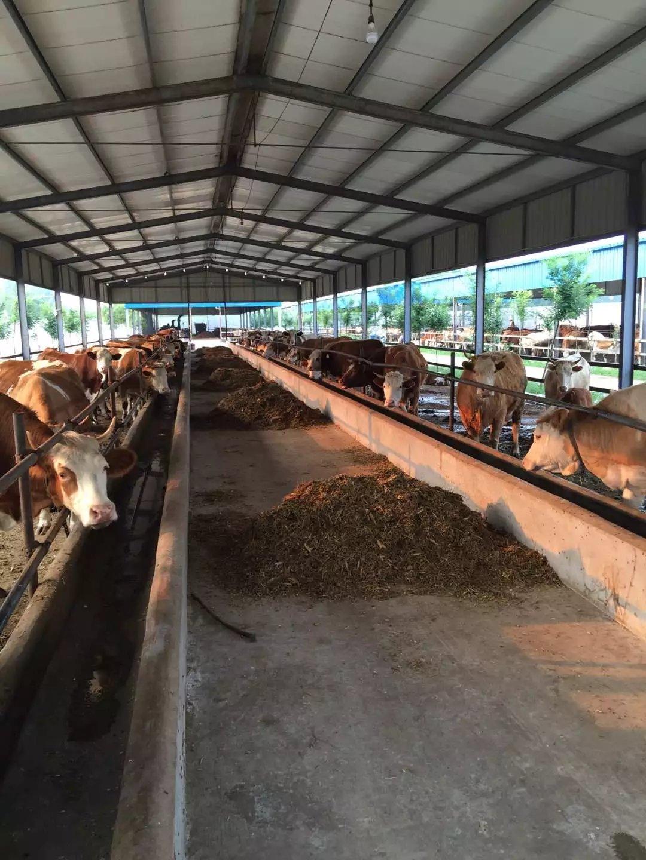 鲁西黄牛 养殖 肉牛鲁西黄牛价格 黄牛厂家报价 鲁西黄牛犊价格