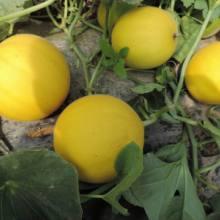 中原金蜜厚皮甜瓜种子甜瓜种子黄皮甜瓜种子黄皮白肉厚皮甜瓜种子哈密瓜种子厚皮甜瓜10g/袋图片