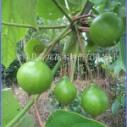 油桐树种子 油桐树 桐油树 桐子树