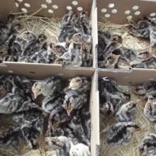 中型花色羽毛纯种青铜火鸡苗已做马力克防疫图片