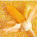 玉米批发图片