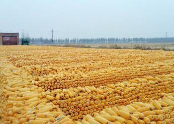 玉米棒子图片