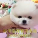 广州哪里有卖纯种博美犬 广州博美图片