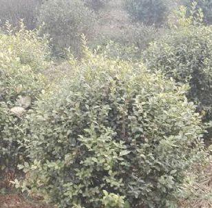 绿化苗木 花卉苗木 北海道黄杨图片