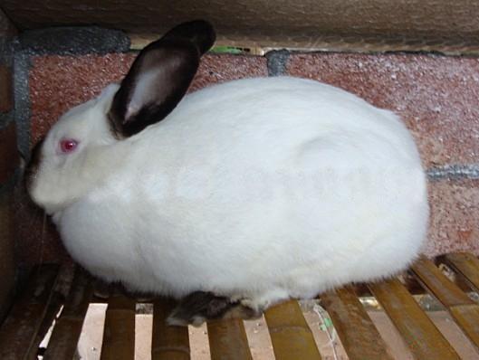 杂交野兔种兔_杂交野兔法系獭兔长毛兔价格
