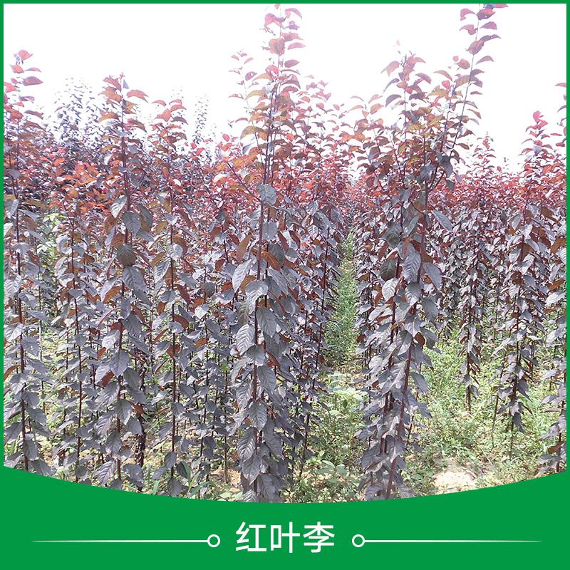 西安红叶李苗批发 紫叶李树苗 色叶树种 落叶小乔木 景观树红叶李苗木