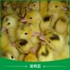 广州蛋鸭苗公司图片