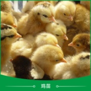 广州鸡苗养殖图片