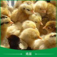 广州鸡苗养殖 广州土鸡苗采购 纯种土鸡苗 固始土鸡苗 笨鸡苗 草鸡苗 正宗土鸡苗