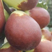 上海和田玉枣批发,吃哪种枣类最营养,逢年过节买哪种枣,最丰满的枣类