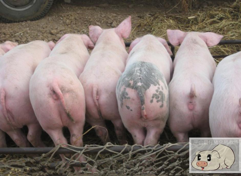 河北仔猪养殖场批发,河北仔猪养殖场电话 河北长白仔猪养殖场