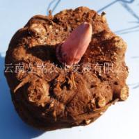 魔芋种子供应、富滇芋魔芋种子、花魔芋、云南 陕西 贵州 四川 广元魔芋种子供应商