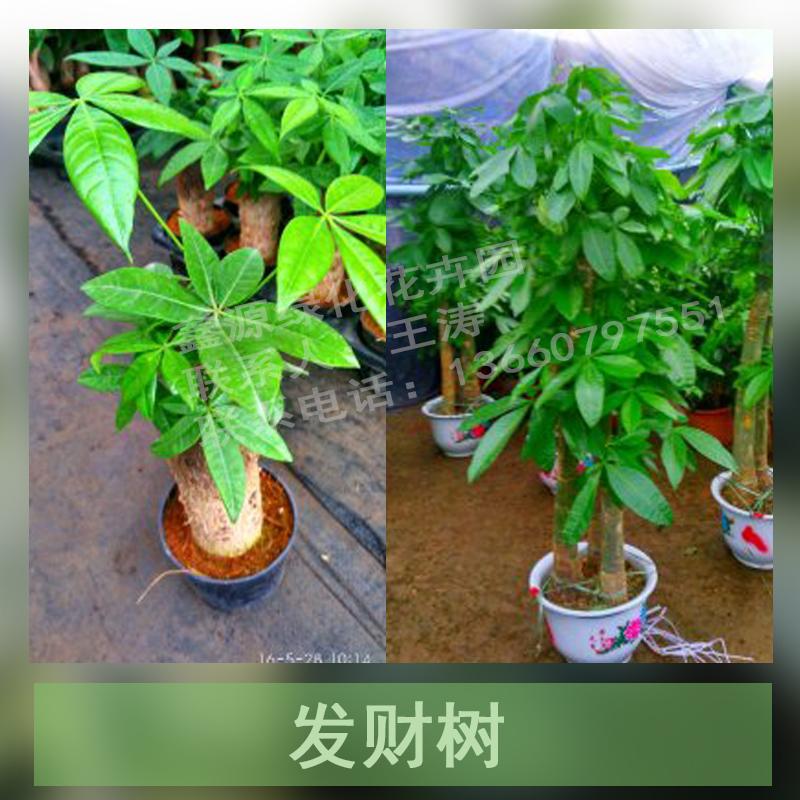 鑫源绿化花卉园 树盆栽图片大全 树盆栽图片  猜您感兴趣看的产品图片