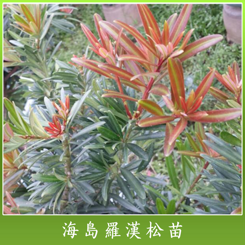 海岛罗汉松苗 高成活率罗汉松苗 海岛罗汉松培植苗木 罗汉松盆栽苗