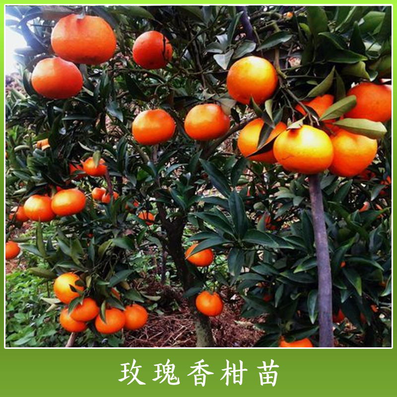 广西玫瑰香柑苗批发 高产玫瑰香柑种苗 玫瑰香杂柑苗 优质水果树苗木