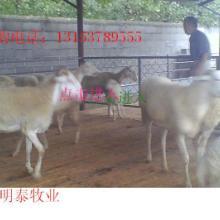 小尾寒羊的科学养殖 活羊肉羊 白山羊 羊羔价格走势屠宰羊养殖场 小尾寒羊科学养殖批发