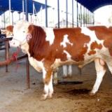 西门塔尔牛的原产地 西门塔尔牛的技术养殖 西门塔尔牛的批发价格 西门塔尔牛犊的护理 西门塔尔牛的养殖基地 西门塔尔的效