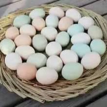 山东柴鸡蛋