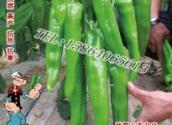 三系杂交育成超级特大牛角椒 超高产 盛-奇亮箭牛椒种子