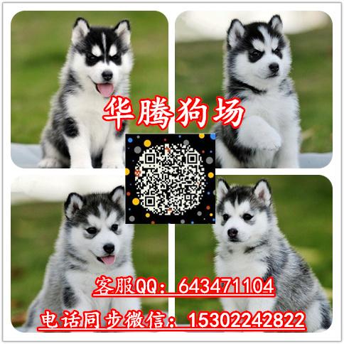广州哈士奇雪橇犬价格纯种哈士奇价钱哈士奇多少钱一只