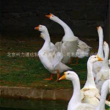 北京培训中心生态养殖园 绿色食品养殖生产 生态环境  生态养殖——大白鹅