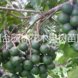 廣西夏威夷果 種子 廣西欽州市澳洲堅果種子2016新采澳洲堅果種子 包99%發芽率 全國寄送貨上門18278710819