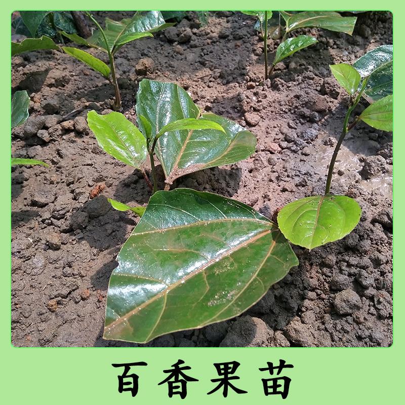 四川百香果苗,四川百香果苗哪里有卖,四川百香果苗种植