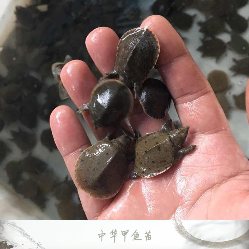 广州中华甲鱼苗销售