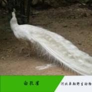 河北白孔雀图片